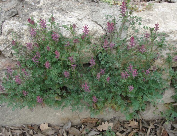 La cure dépurative, tant utilisée autrefois, se perd. C'est bien dommage. Pour ceux qui y croient encore, voici la Fumeterre (Fumaria officinalis).