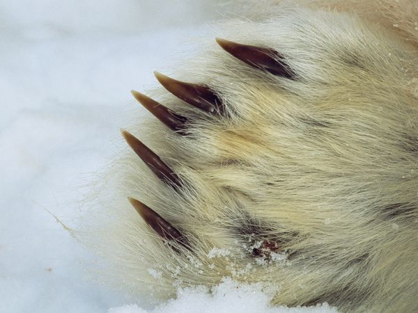 Close up of polar bear claws, wow.