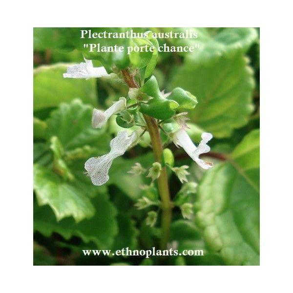 plectranthus australis | Plectranthus australis PLANTE PORTE BONHEUR (plante)