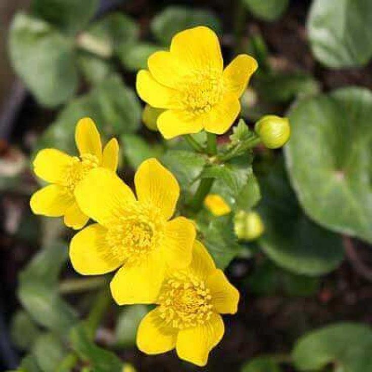 8 best waterside nursery showcase images on pinterest for Native pond plants