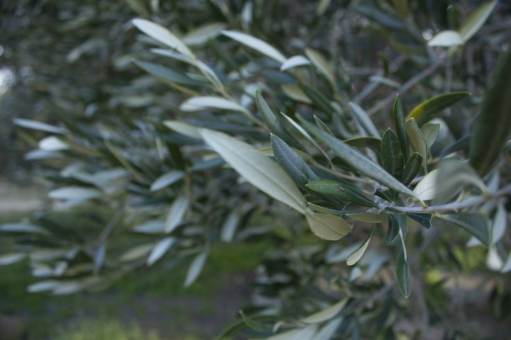 Olive Tree leaves, Rhodes Greece