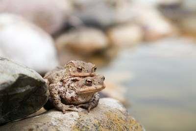 Kröten fressen Schnecken Frösche Erdkröte Nacktschnecke Feinde Fressfeinde
