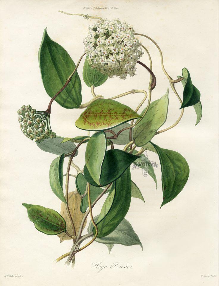 Les 33 meilleures images du tableau hoya sur pinterest for Botanic fleurs artificielles