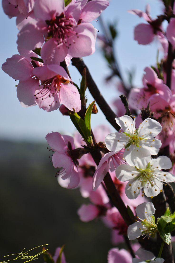 Mă aflu într-o livadă, unde copacii sunt vii prin energia lor. Un loc în care simți miros de primăvară și vezi o mulțime de nuanțe de roz, o mulțime de petale mici și suave de flori de măr. Un loc …