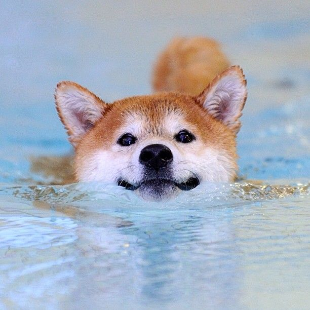 swimming shiba inu - somehow I don't think Angel would do that - she doesn't even like to get her paws wet in the grass *facepalm*