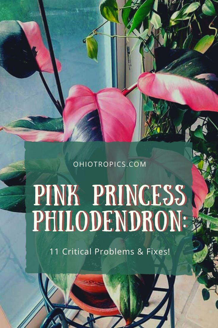 Philodendron pink princess care in 2020 philodendron