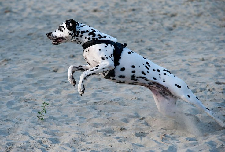 Dalmatian 3 Photograph by Martin  FF