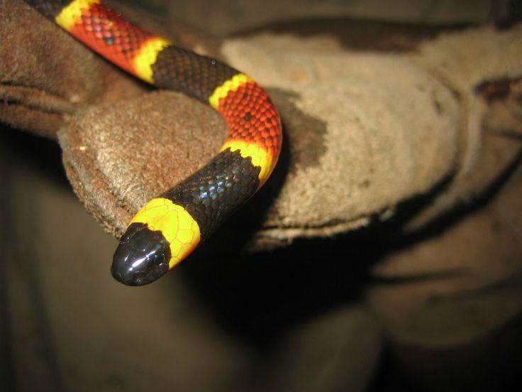 snakes | Florida Venomous Snake Removal - poisonous?