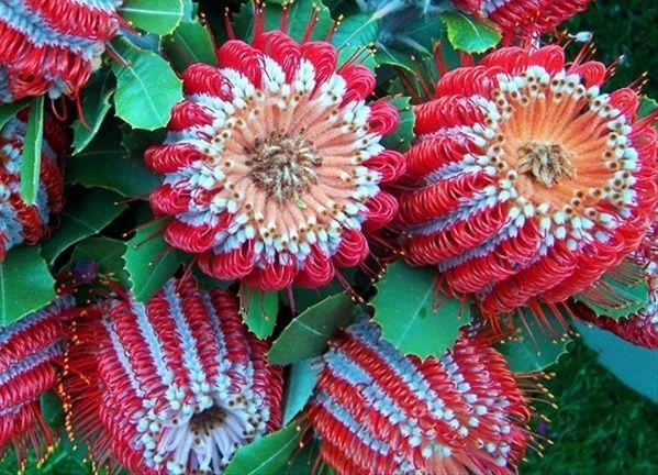 """Banksia """"Coccinea"""" - Banksia - Proteas and Leucadendrons - SFF"""