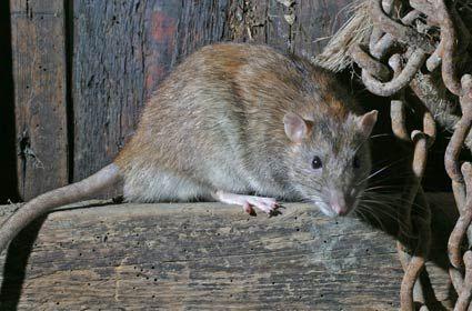 Large Brown Rat | Rat – brown