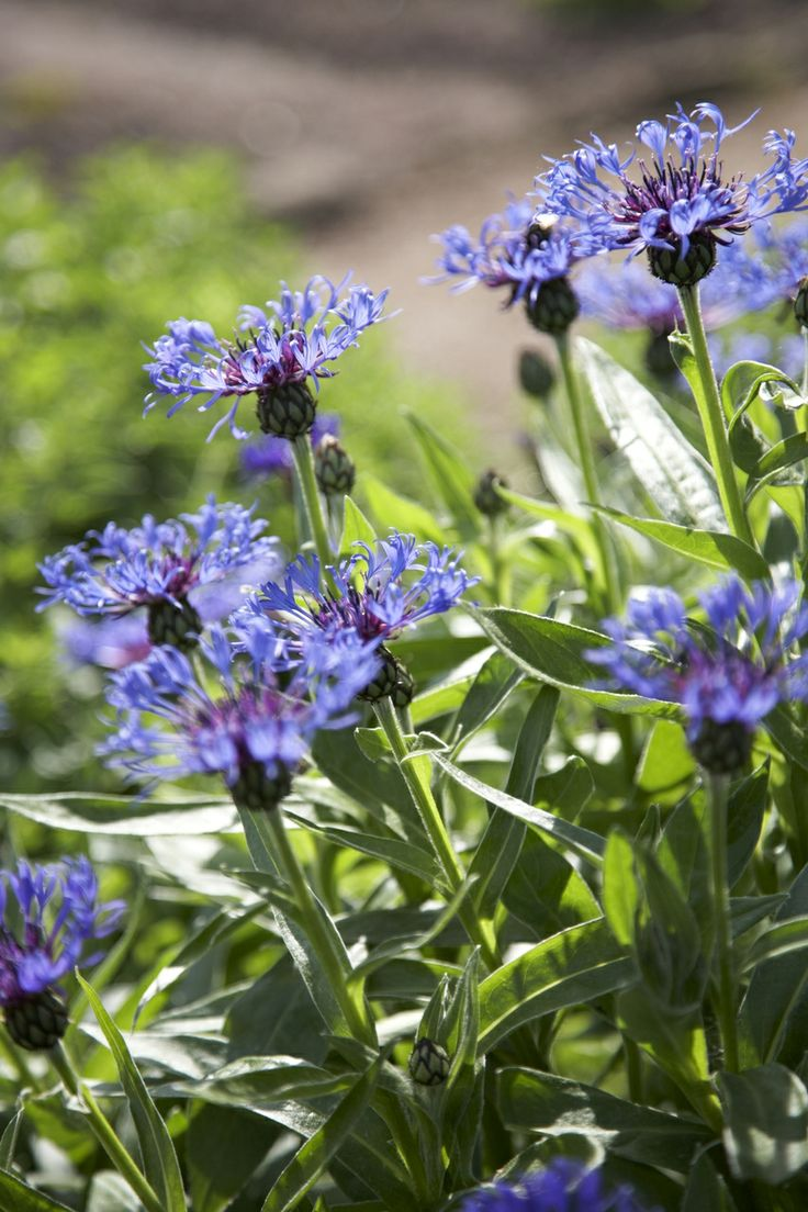 Centaurea montana - Das schönste Blau an Frühlingstagen • Blumen & Pflanzen Blog • 99Roots.com