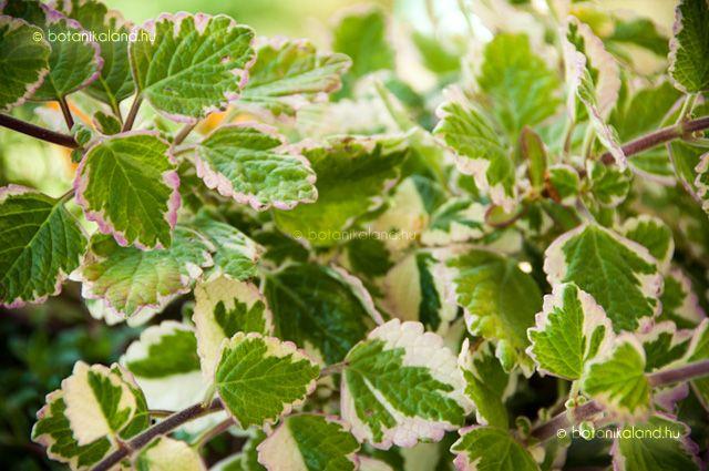 Kakassarkantyúka (Plectranthus Coleoides) gondozása, szaporítása (Kakassarkantyú, Szúnyogűző)