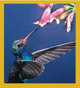Hummingbird - Dazzler #06554