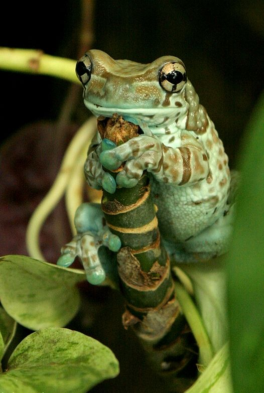 """earth-song: """" Blue-green Frog by ~Lighti85 """""""