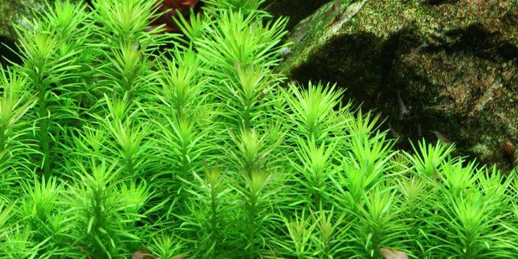 Pogostemon erectus - Tropica Aquarium Plants
