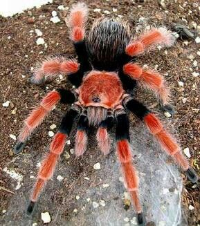Mexican fire leg tarantula #spider
