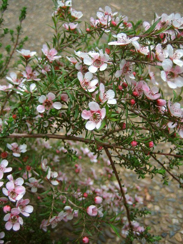 Leptospermum polygalifolium 'Pink Cascade' LEP v PINLeptospermum polygalifolium 'Pink Cascade'Pink Cascade Tea Tree140mm2/m²