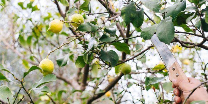 Το κλάδεμα της λεμονιάς  #Φυτά