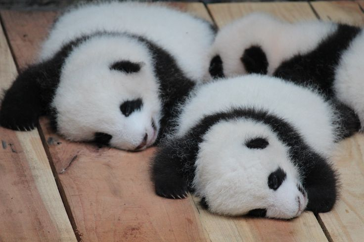 Baby Giant Pandas with their tums full after a good feed and sleeping it off as they have their first experience of being outdoors in their young lives.