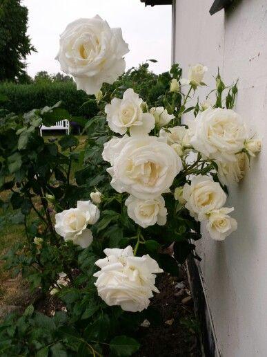 My garden. Rose Karen Blixen