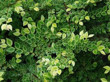 Wiąz drobnokwiatowy 'Geisha' = 'Nana Variegata' - Krzewy liściaste - Baza roślin - rosliny.urzadzamy.pl