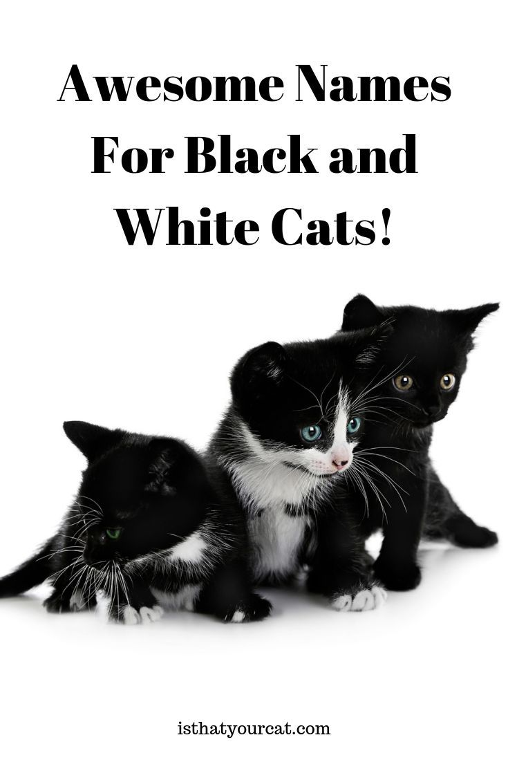 What Are Some Awesome Names For Black And White Cats Fun In 2020 Black And White Kittens White Cats Kitten Names