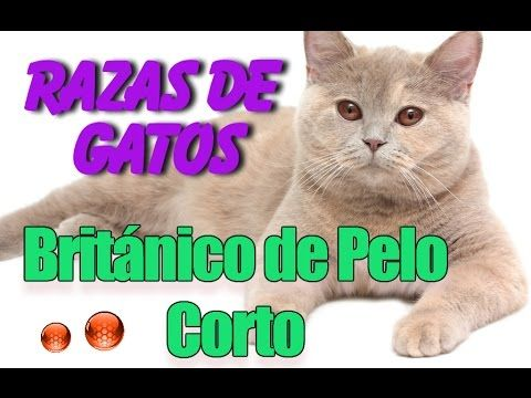 Gato Británico de Pelo Corto o British Shorthair - Informacion sobre La Raza Britanico de Pelo Corto - YouTube #mascotas