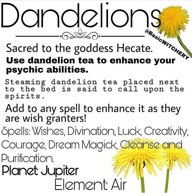 Basic W I T C H E R Y S Instagram Post D A N D E L I O N S Well They Re Everywhere Right Now So I Thought It Wo In 2020 Magickal Herbs Herbal Witch Magical Herbs
