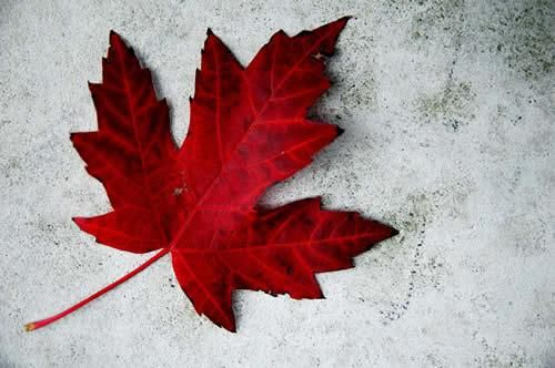 Canadian Maple Leaf | ... Exchange » Happy Canada Day Everyone! Honk if you're Canadian