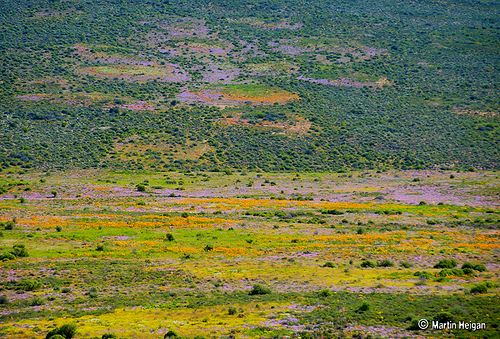 Namaqualand's Wild Flower Tapestry, Garies, Namaqualand, Northern Cape, South Africa