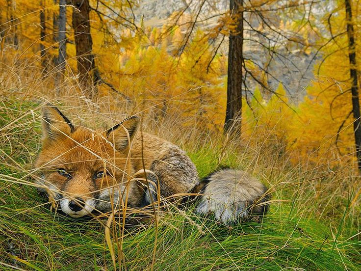 National Geographic's Top 20 Photos Of 2015 Fox Found, Gran Paradiso National Park, Italy