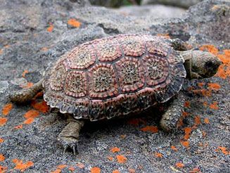 Speckled Padloper - Homopus signatus - This African species of the family Testudinidae is the world's smallest tortoise with the males being particularly tiny. They are endemic to South Africa and southern Namibia