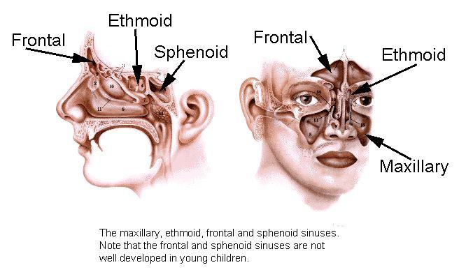 Sinuses Anatomy