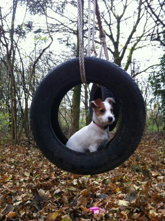 Jack Russell, just hanging out. Literally. :)