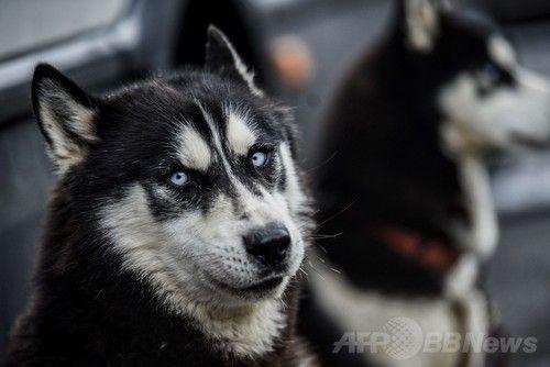 シベリアンハスキー アルプスを駆ける犬ぞりレース、フランス
