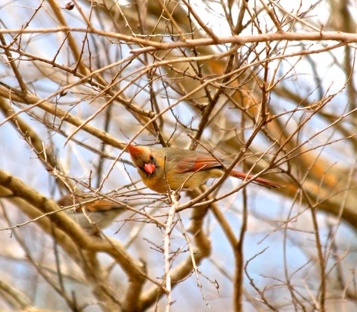 Cardinal Amateur 71