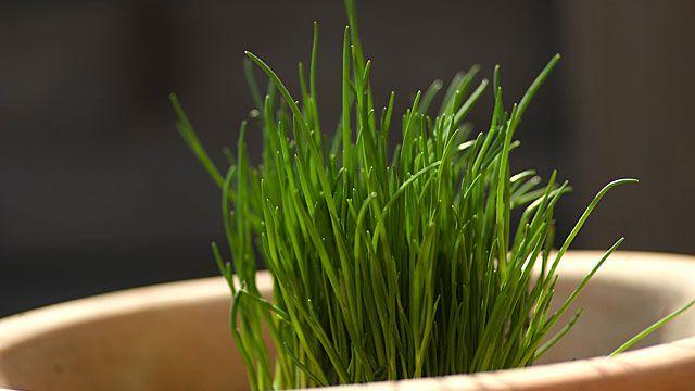 Schnittlauch ist als Würzkraut in der Küche nahezu unverzichtbar. Es lässt sich leicht im Kräutergarten, aber auch im Topf auf dem Fensterbrett anpflanzen. Im Garten hat Schnittlauch sogar noch einen Zusatznutzen: Durch seinen starken Geruch soll ...