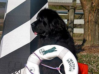 The Newfoundland Dog was originally bred to work alongside seaman in the cold North Atlantic. Strong swimmers with water resistant coats, the Newfoundland's water rescue instincts are legendary. And on land, our dogs pulled carts loaded with fishing equipment and the catch of the day.    Today, Newfy owners train their dogs in Water Rescue, Draft Work, Agility, Tracking and Backpacking.  Newfs also excel as Therapy dogs and Service Dogs.