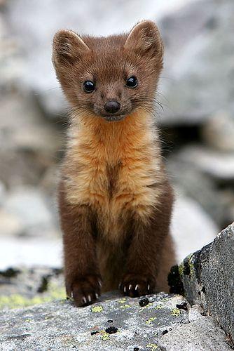 a pine marten (a cute weasel)