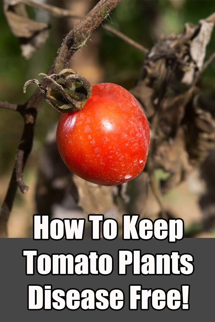 How To Keep Tomato Plants Healthy – 5 Tips To Eliminate Blight And Disease Naturally