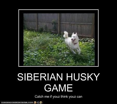 SIBERIAN HUSKY  GAME