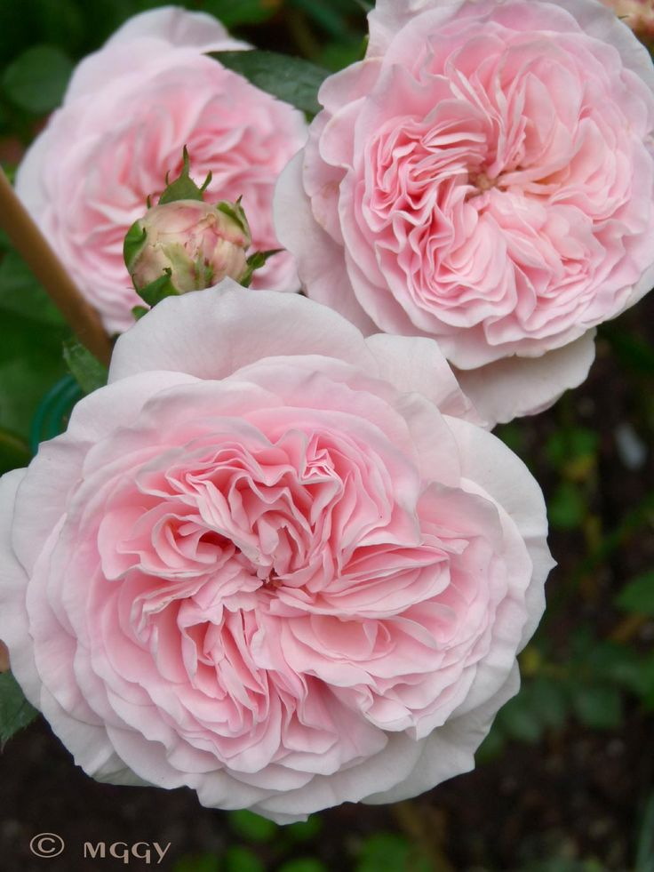 Roses In Garden: Modest Pink Old Fashioned Images On
