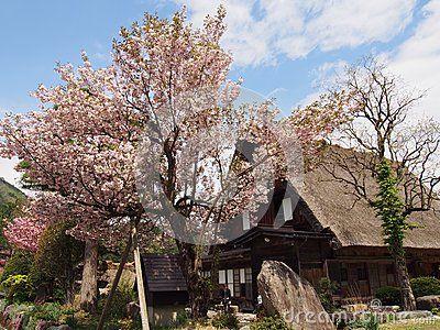 Sakura tree with heritage house at Shirakawa go Japan