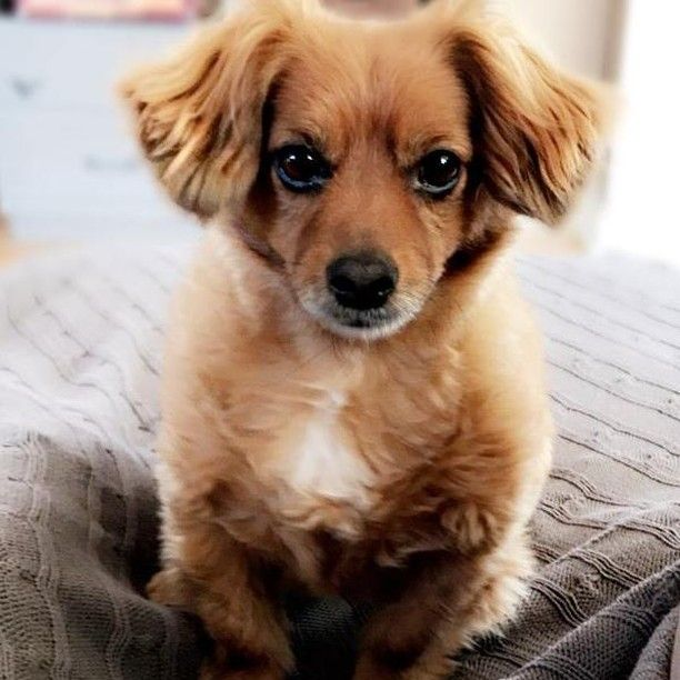 Lost Dog Mound Dachshund Long Haired Chihuahua Mix Male Date