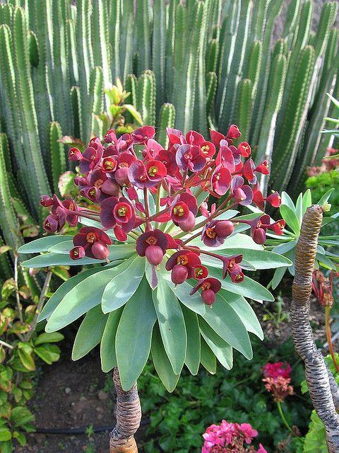 Euphorbia atropurpurea w/ Euphorbia canariensis in the background.