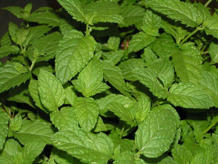 Las plantas y sus usos: Hierbabuena o menta negra