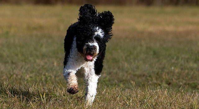 Foto de un Perro de Agua Portugués corriendo por el campo. Pelaje de color blanco y negro. Raza de perros (Photo of a Portuguese Water Dog running across the field. Coat of black and white. Breed of dog).