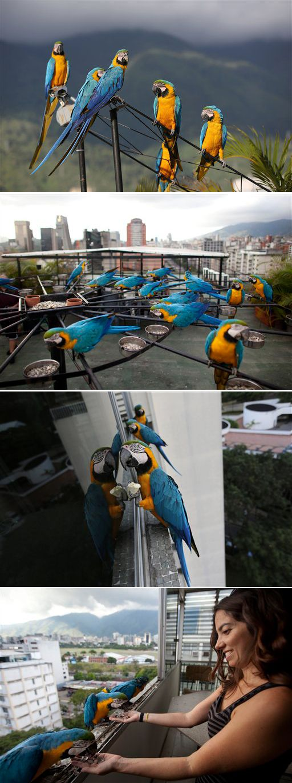 Guacamayas viven libres en Caracas. Macaws live free in Caracas