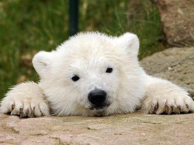 polar bear photo polar_bear.jpg