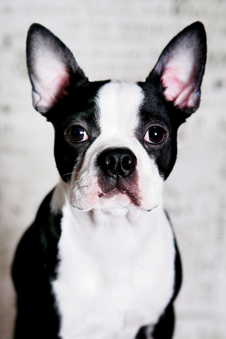 Professional Photos of Chance from Baltimore, USA | Boston Terrier Dogs